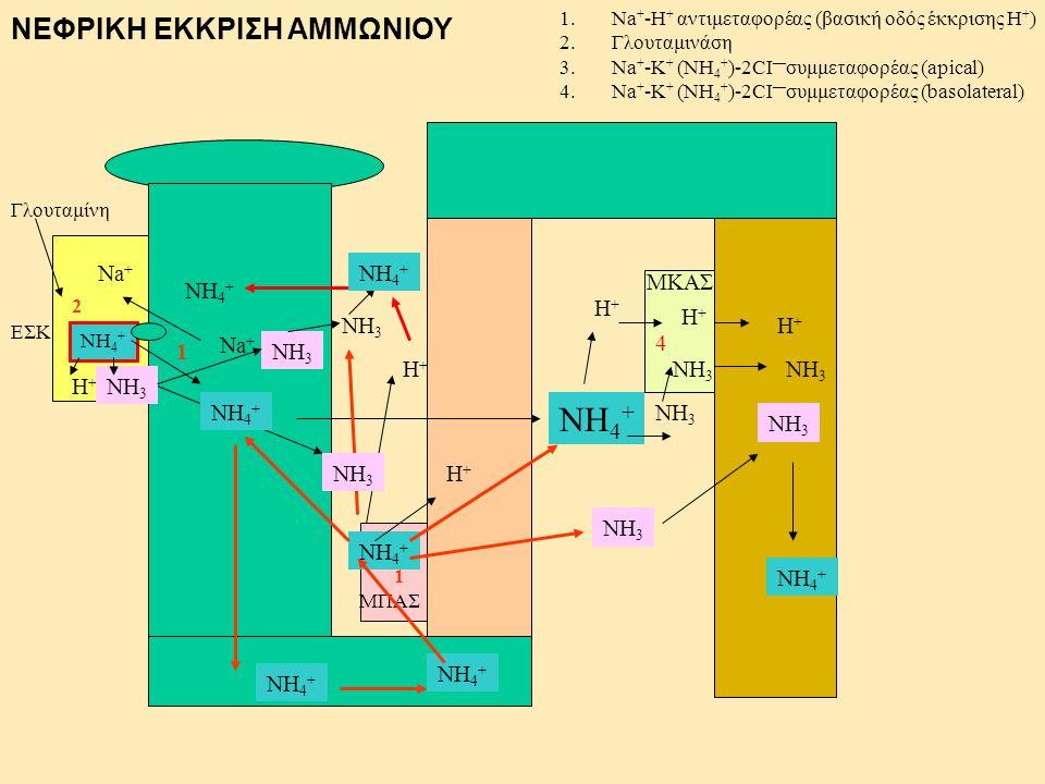 NH4+ ΝΕΦΡΙΚΗ ΕΚΚΡΙΣΗ ΑΜΜΩΝΙΟΥ Na+ NH4+ ΜΚΑΣ NH4+ H+ H+ NH3 H+ 4 1 Na+