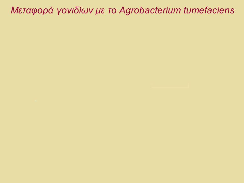 Μεταφορά γονιδίων με το Agrobacterium tumefaciens