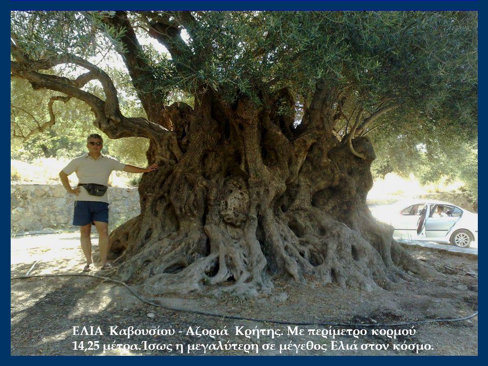 ΕΛΙΑ Καβουσίου - Αζοριά Κρήτης. Mε περίμετρο κορμού 14,25 μέτρα