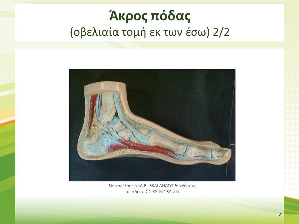 Άκρος πόδας (κάθετη τομή)