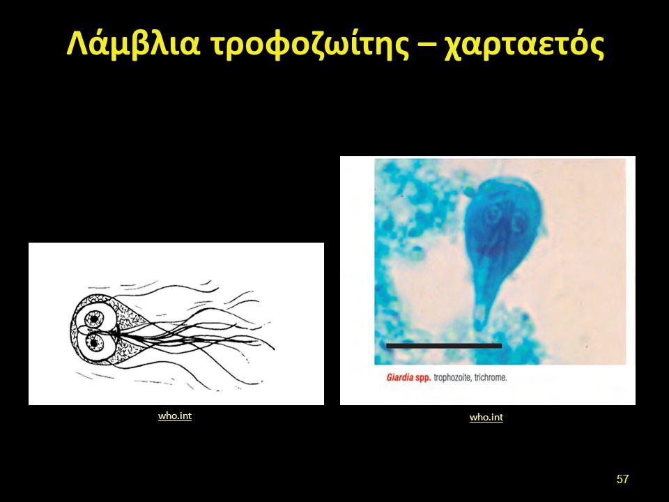 Giardia spp. κύστεις who.int who.int