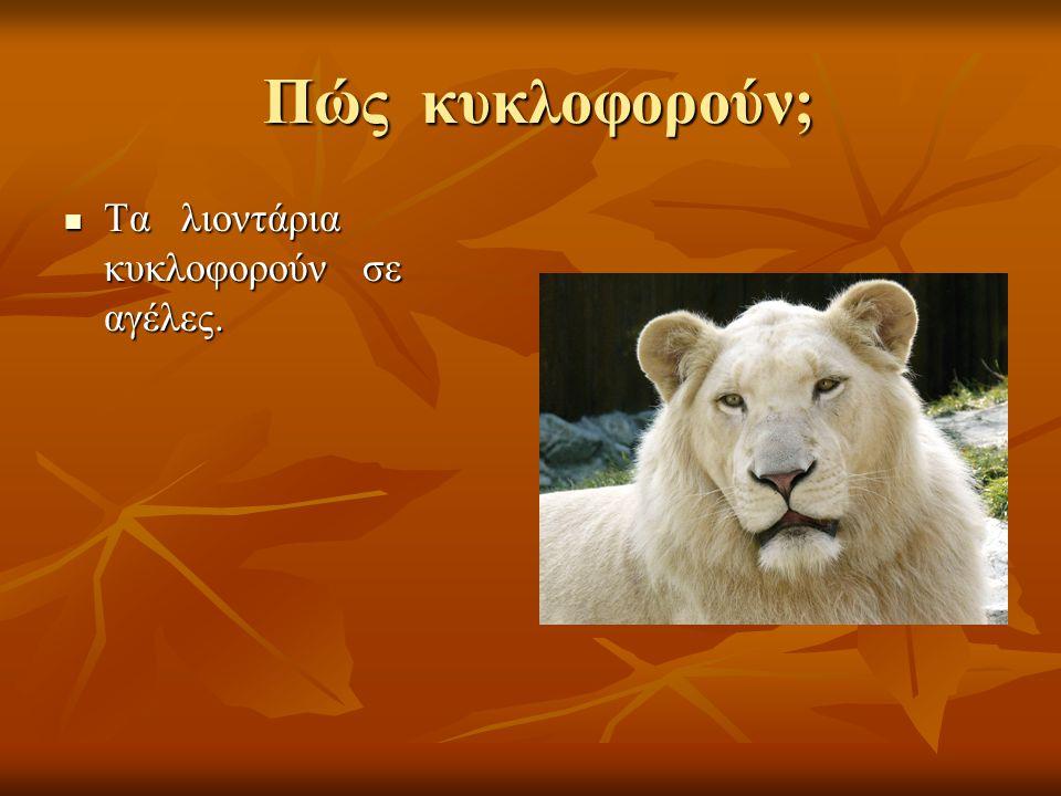 Πώς κυκλοφορούν; Τα λιοντάρια κυκλοφορούν σε αγέλες.