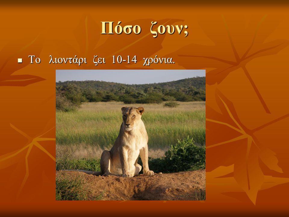 Πόσο ζουν; Το λιοντάρι ζει 10-14 χρόνια.