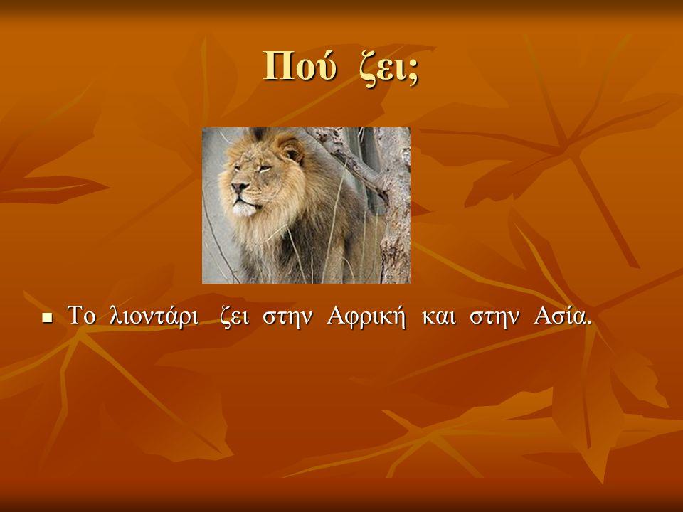 Πού ζει; Το λιοντάρι ζει στην Αφρική και στην Ασία.