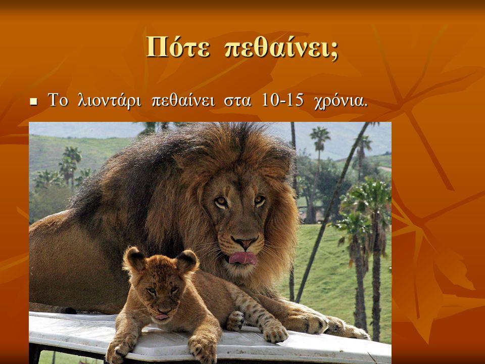 Πότε πεθαίνει; Το λιοντάρι πεθαίνει στα 10-15 χρόνια.