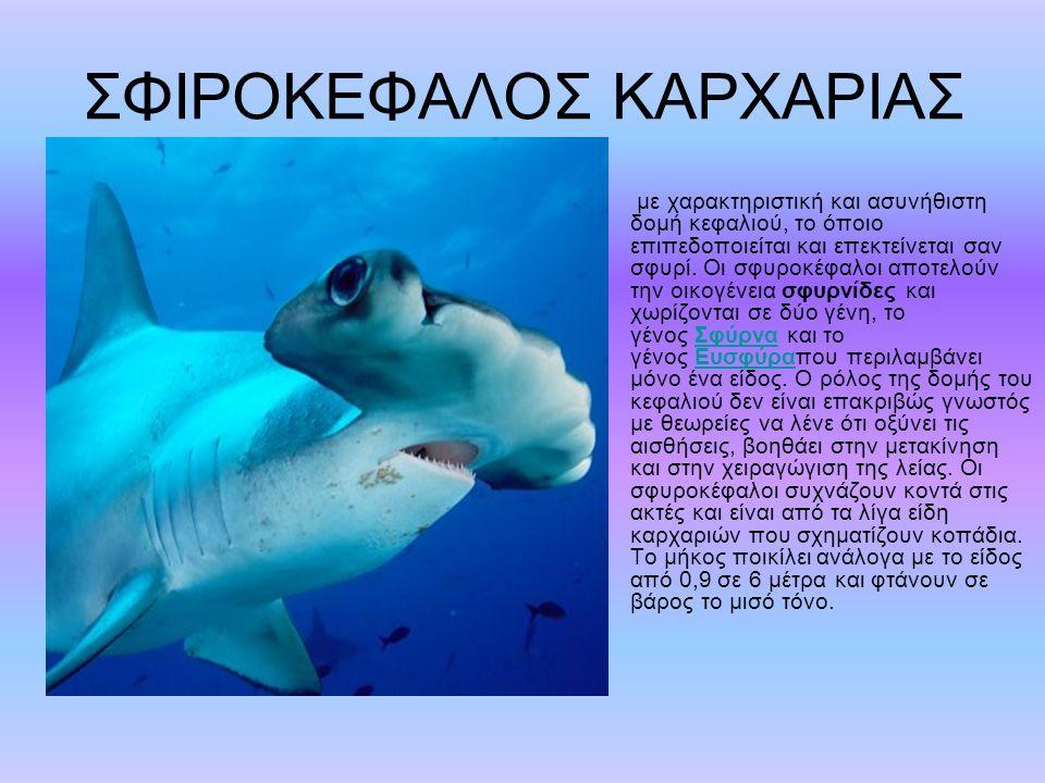 ΣΦΙΡΟΚΕΦΑΛΟΣ ΚΑΡΧΑΡΙΑΣ