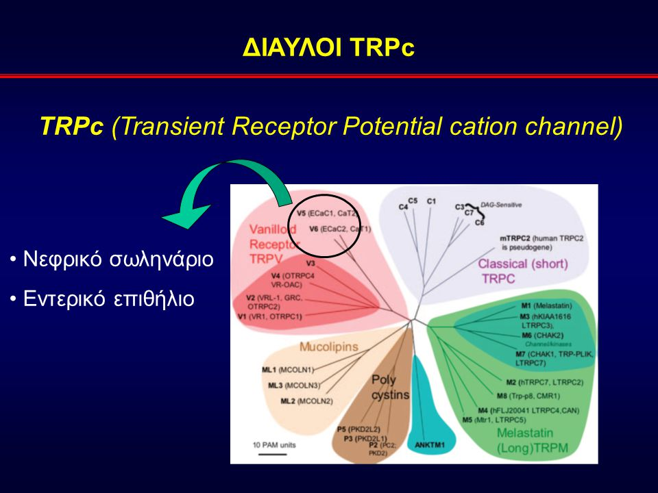 TRPc (Transient Receptor Potential cation channel)