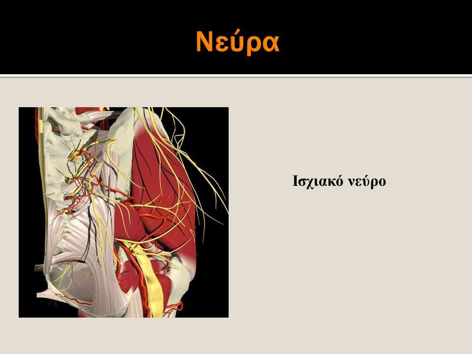 Νεύρα Ισχιακό νεύρο.