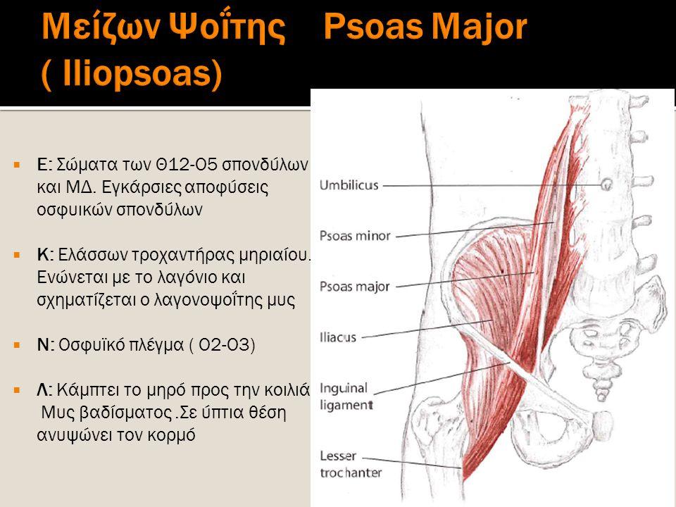Μείζων Ψοΐτης Psoas Major ( Iliopsoas)