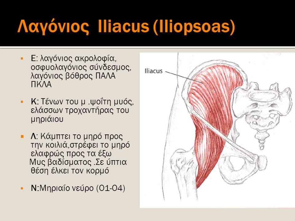 Λαγόνιος Iliacus (Iliopsoas)