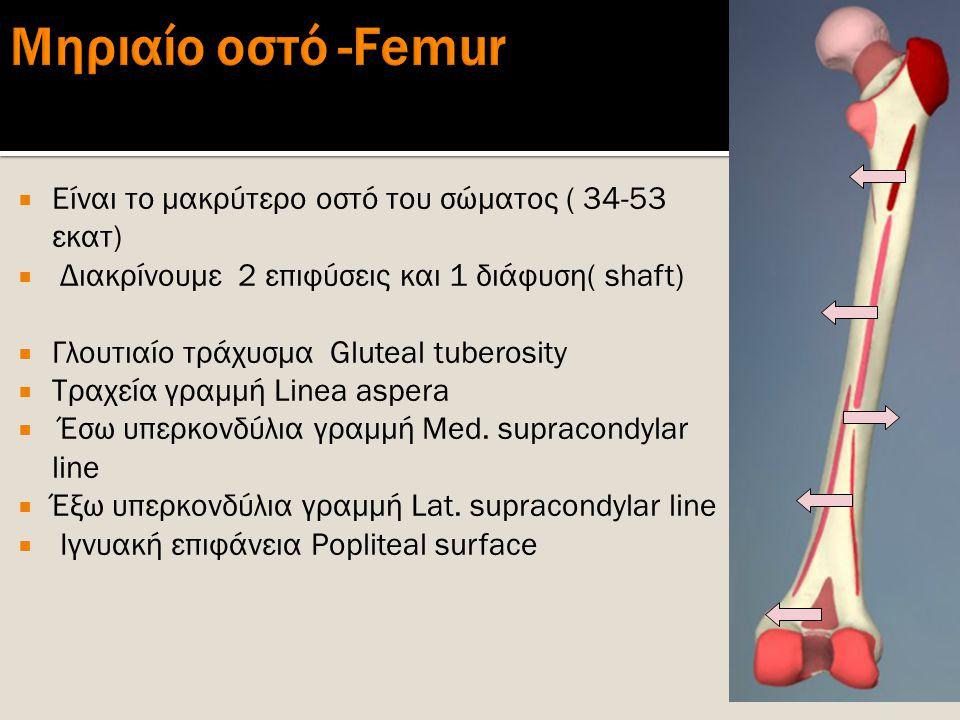Μηριαίο οστό -Femur Είναι το μακρύτερο οστό του σώματος ( 34-53 εκατ)