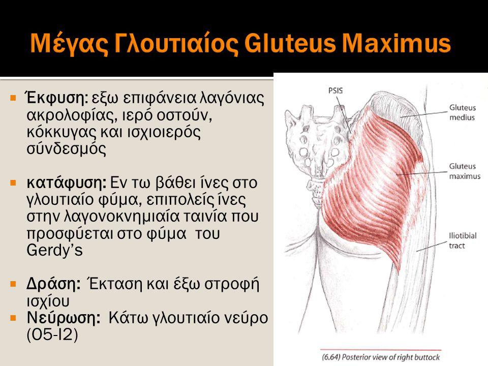 Μέγας Γλουτιαίος Gluteus Maximus