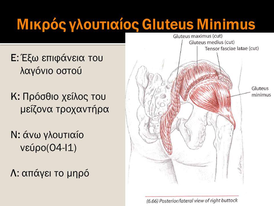 Μικρός γλουτιαίος Gluteus Minimus