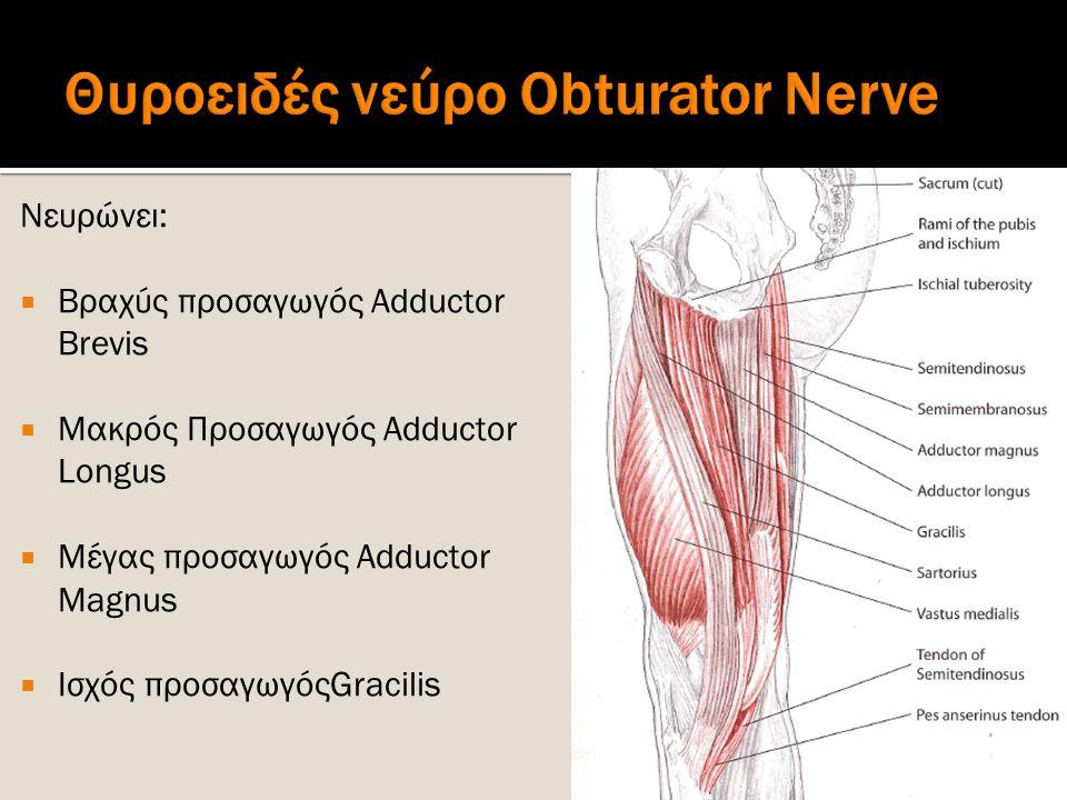 Θυροειδές νεύρο Obturator Nerve