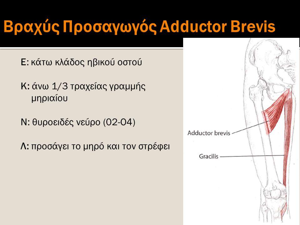 Βραχύς Προσαγωγός Adductor Brevis