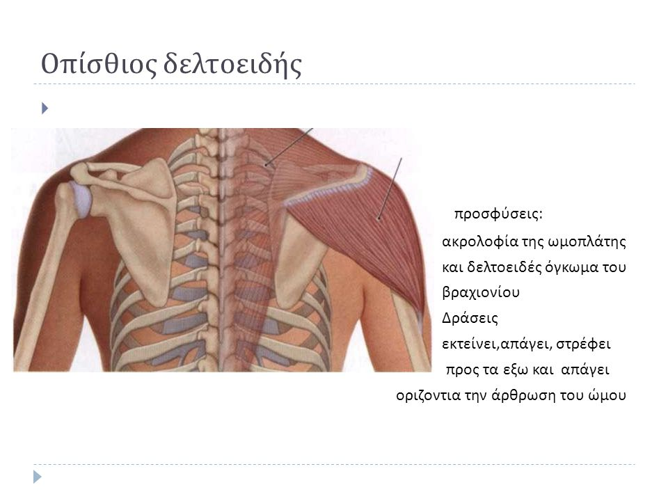 Οπίσθιος δελτοειδής προσφύσεις: ακρολοφία της ωμοπλάτης