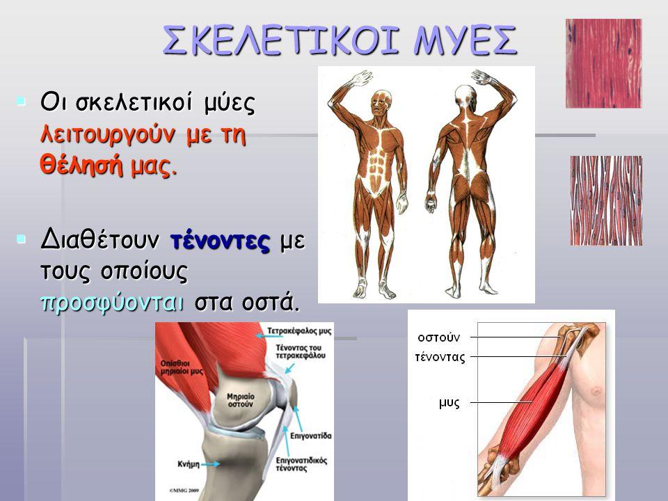 ΣΚΕΛΕΤΙΚΟΙ ΜΥΕΣ Οι σκελετικοί μύες λειτουργούν με τη θέλησή μας.