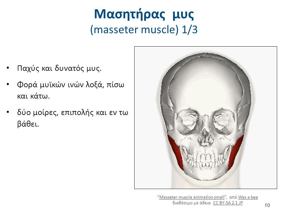 Μασητήρας μυς (masseter muscle) 2/3