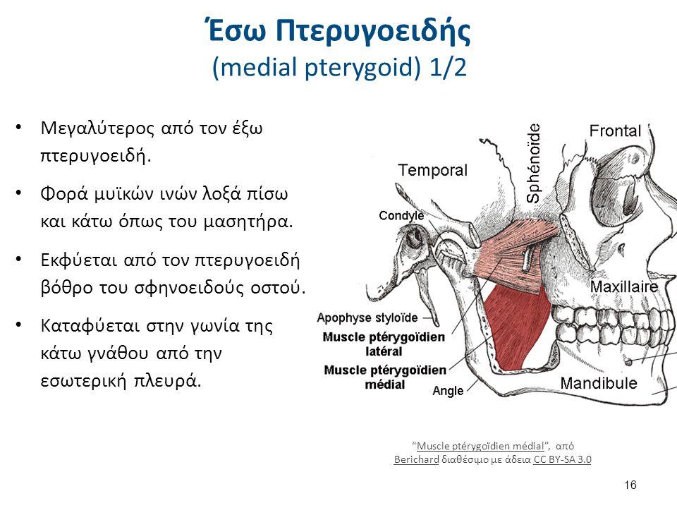 Έσω Πτερυγοειδής (medial pterygoid) 2/2