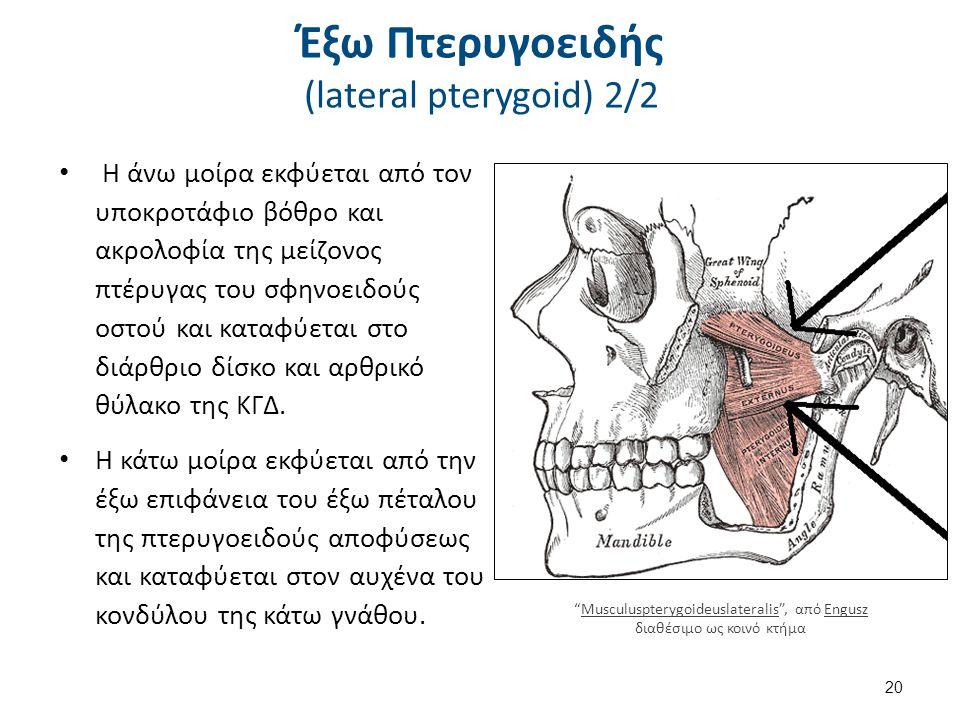Έξω Πτερυγοειδής - Λειτουργία