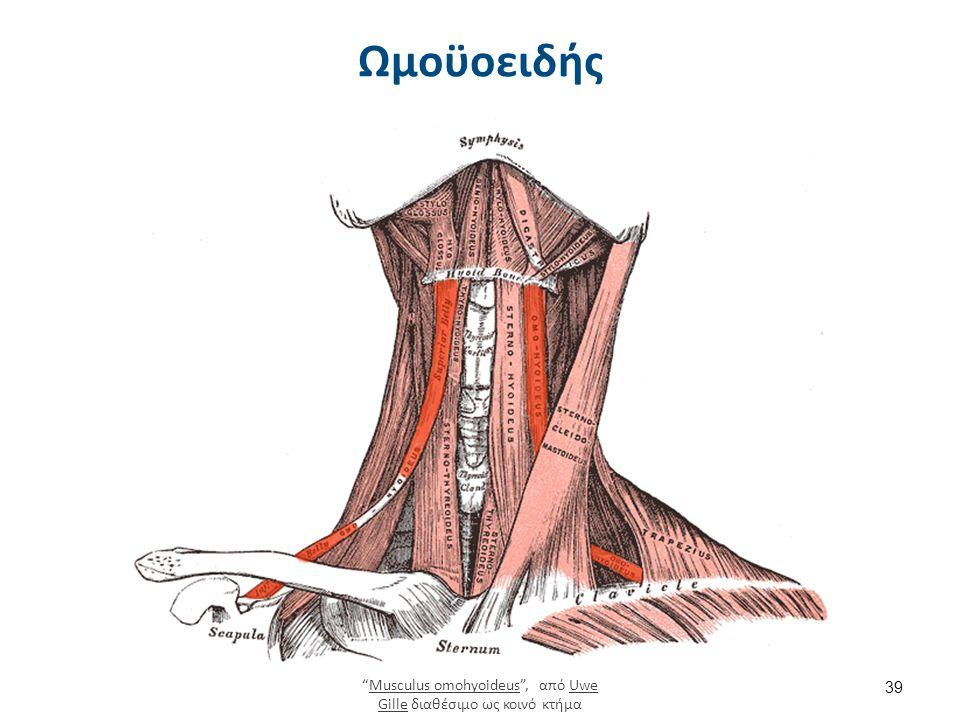 Λειτουργία μυών κάτω του υοειδούς οστού