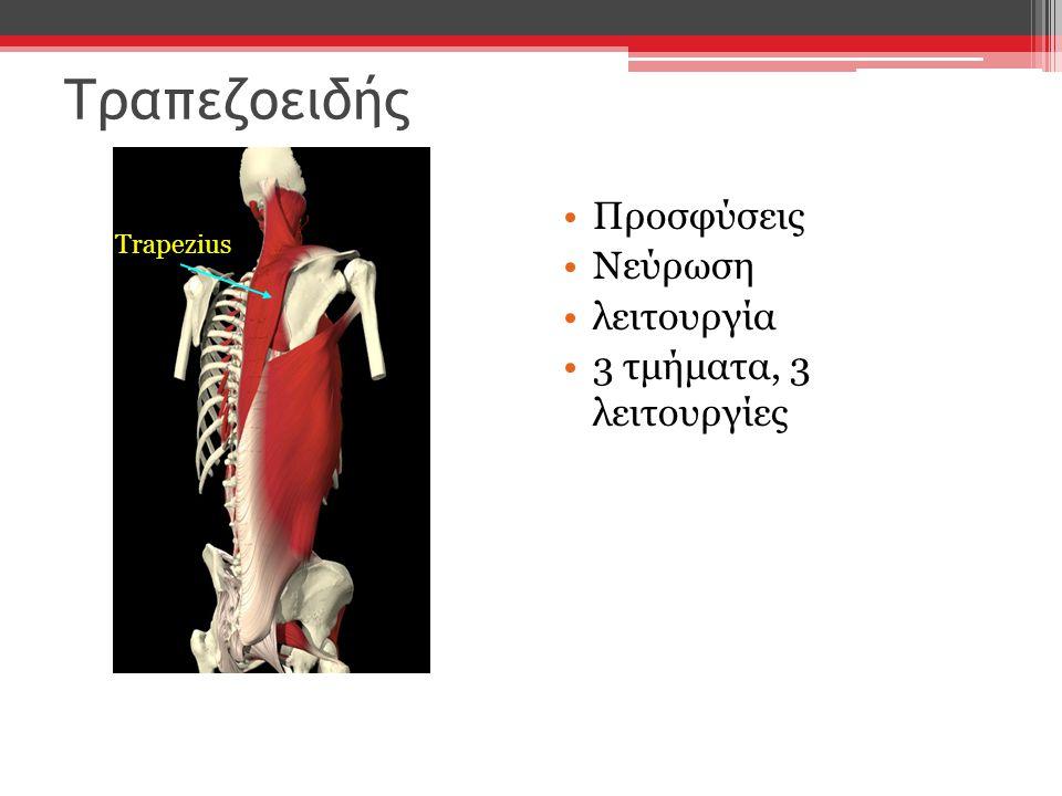 Τραπεζοειδής Προσφύσεις Νεύρωση λειτουργία 3 τμήματα, 3 λειτουργίες