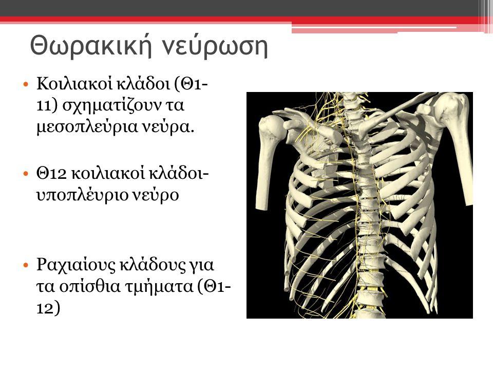 Θωρακική νεύρωση Κοιλιακοί κλάδοι (Θ1- 11) σχηματίζουν τα μεσοπλεύρια νεύρα. Θ12 κοιλιακοί κλάδοι- υποπλέυριο νεύρο.