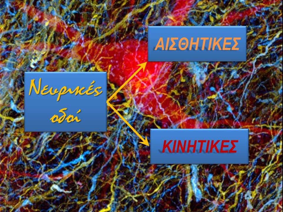 ΑΙΣΘΗΤΙΚΕΣ Νευρικές οδοί ΚΙΝΗΤΙΚΕΣ