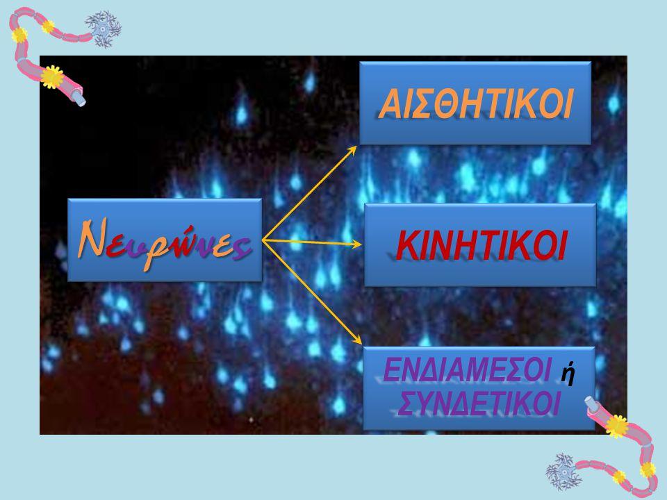 ΑΙΣΘΗΤΙΚΟΙ Νευρώνες ΚΙΝΗΤΙΚΟΙ ΕΝΔΙΑΜΕΣΟΙ ή ΣΥΝΔΕΤΙΚΟΙ