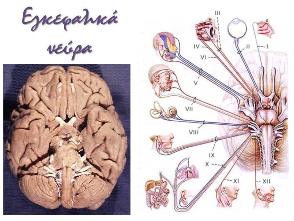 Εγκεφαλικά νεύρα