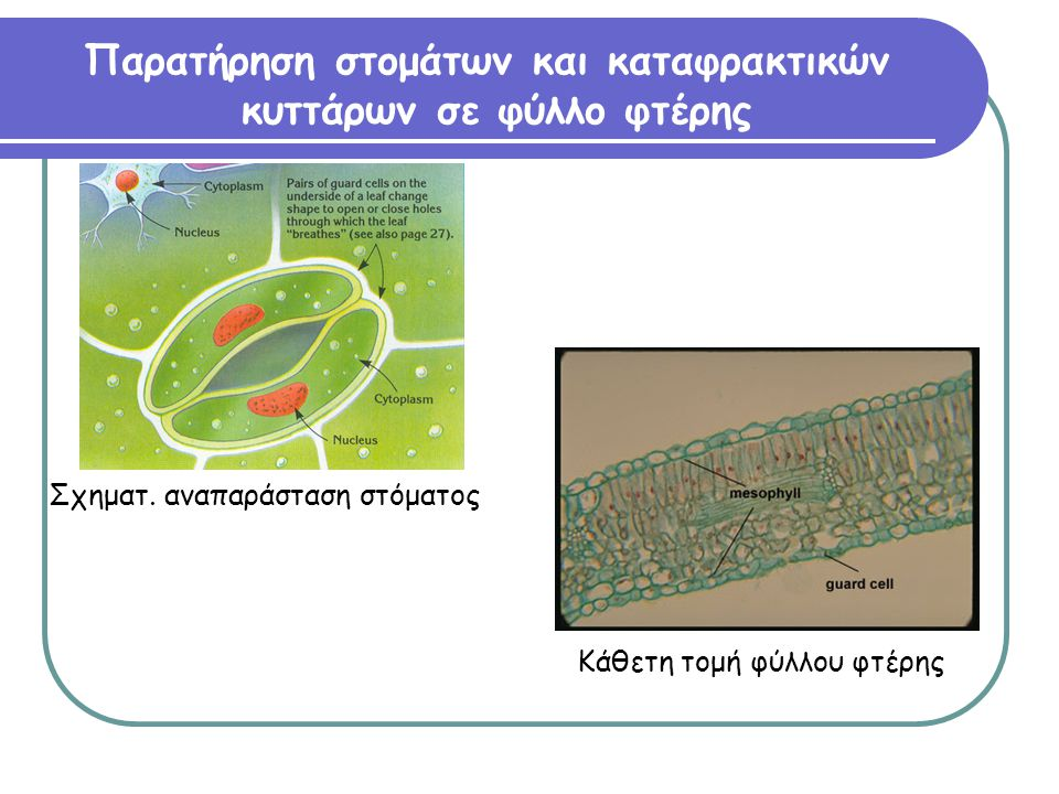 Παρατήρηση στομάτων και καταφρακτικών κυττάρων σε φύλλο φτέρης