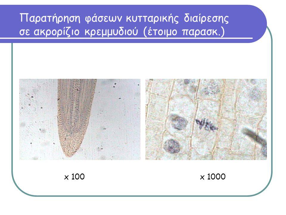 Παρατήρηση φάσεων κυτταρικής διαίρεσης