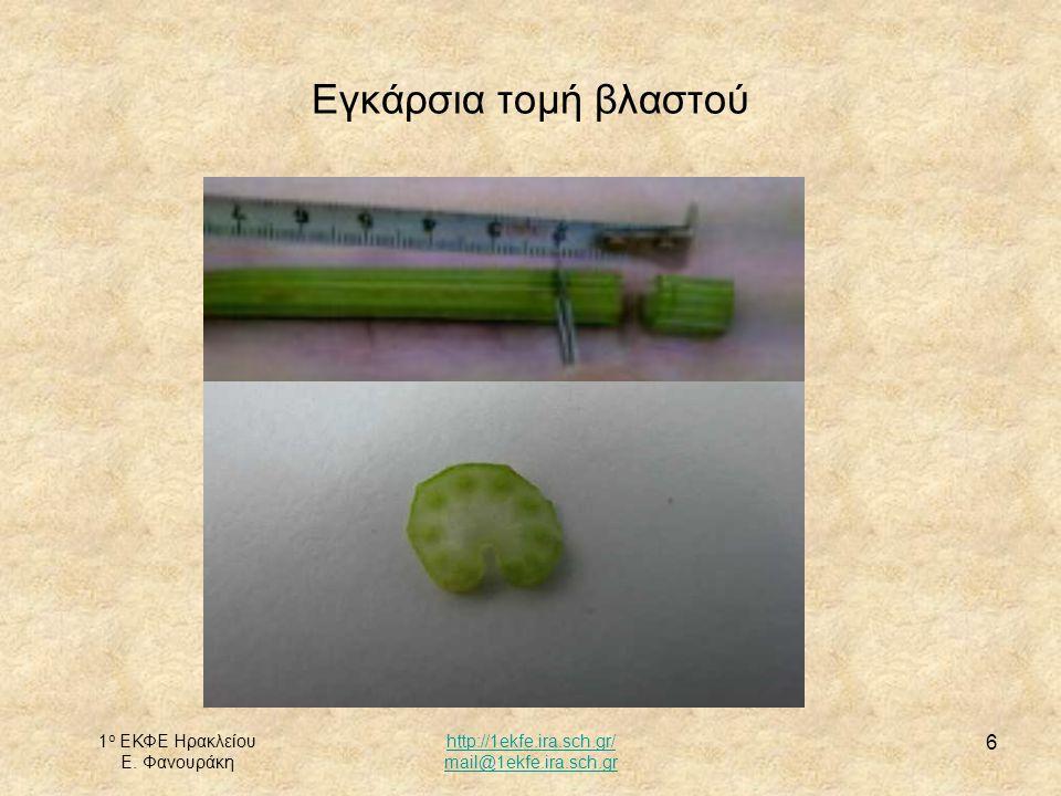 Εγκάρσια τομή βλαστού 1ο ΕΚΦΕ Ηρακλείου Ε. Φανουράκη