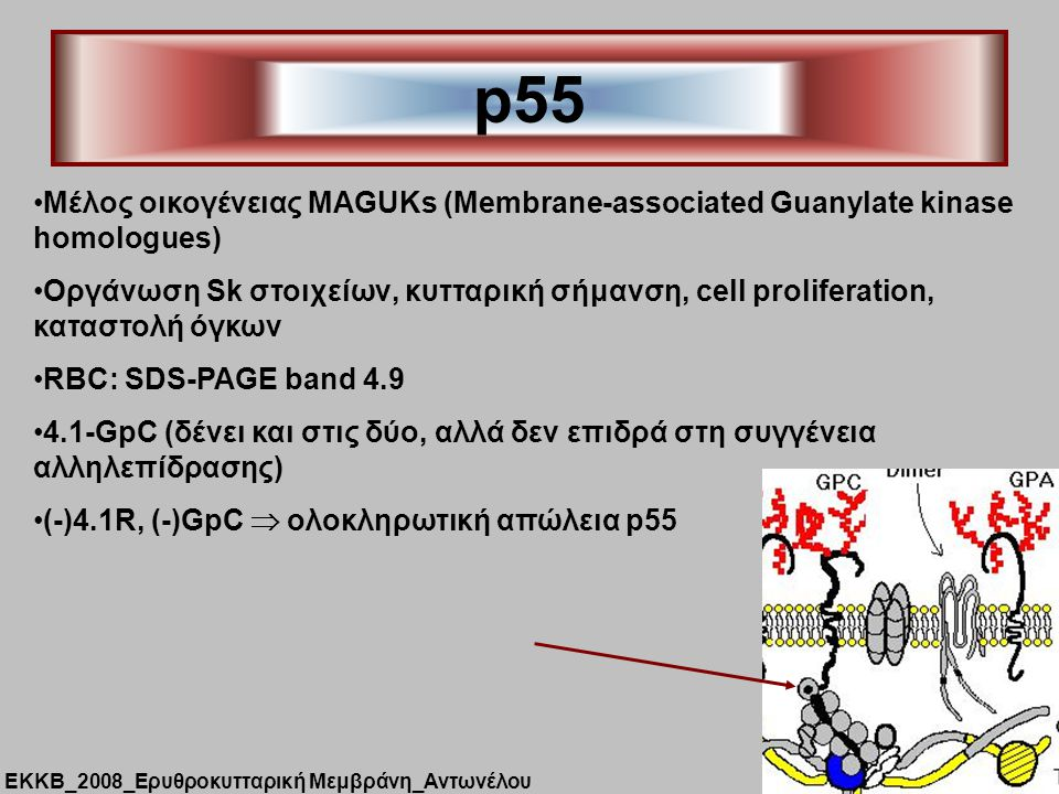 p55 Μέλος οικογένειας MAGUKs (Membrane-associated Guanylate kinase homologues)