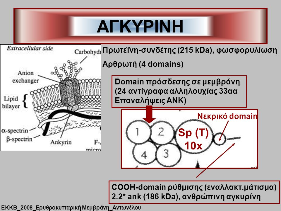 ΑΓΚΥΡΙΝΗ Sp (T) 10x Πρωτεΐνη-συνδέτης (215 kDa), φωσφορυλίωση