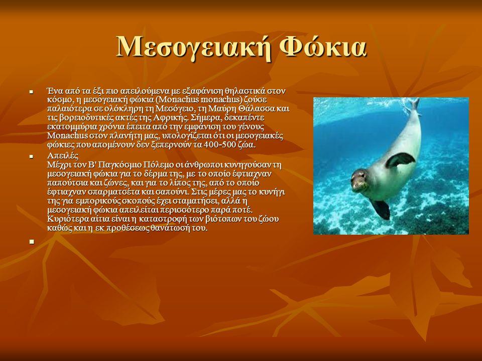 Μεσογειακή Φώκια