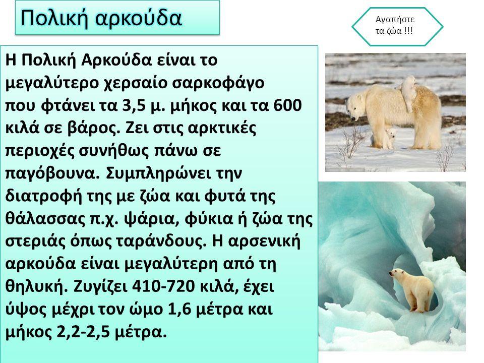 Πολική αρκούδα Αγαπήστε τα ζώα !!!