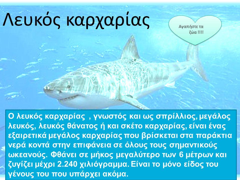 Λευκός καρχαρίας Αγαπήστε τα. ζώα !!!!