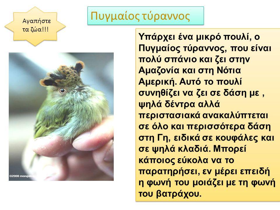 Πυγμαίος τύραννος Αγαπήστε τα ζώα!!!
