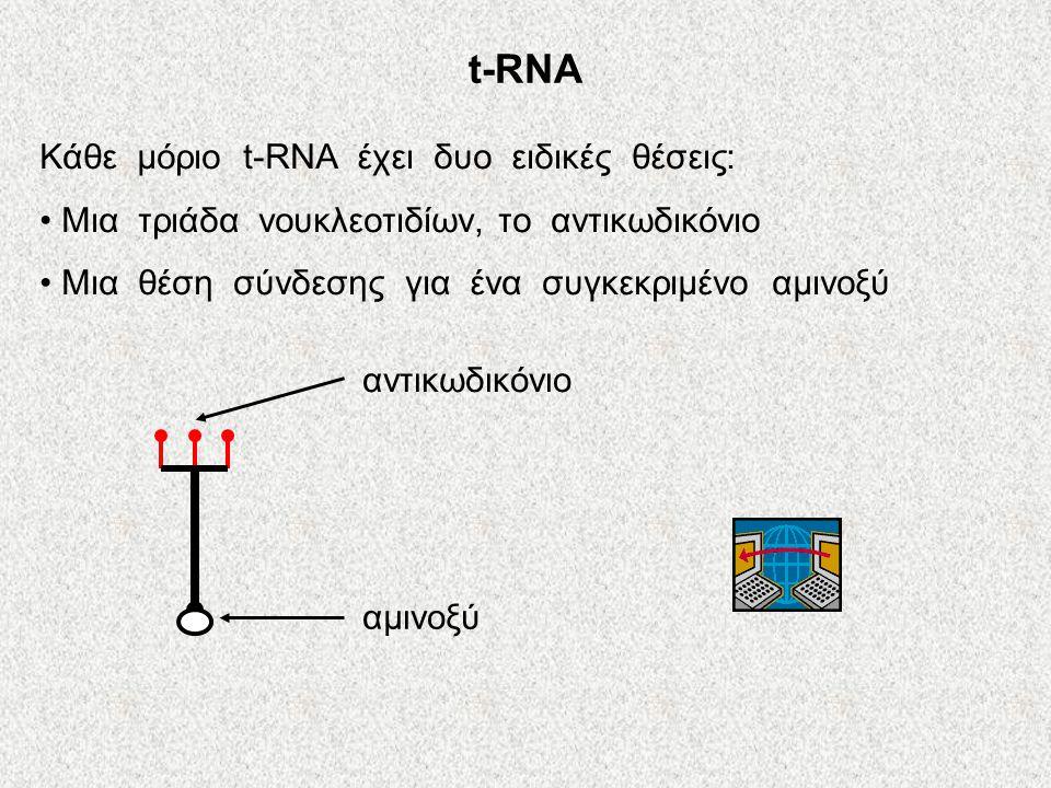 t-RNA Κάθε μόριο t-RNA έχει δυο ειδικές θέσεις:
