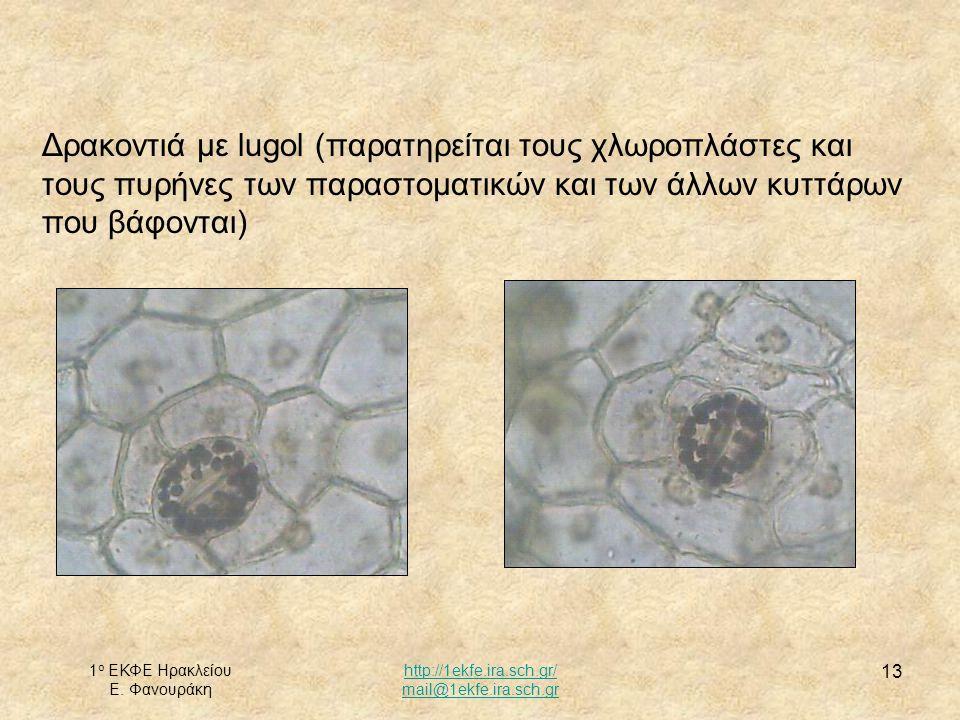 Δρακοντιά με lugol (παρατηρείται τους χλωροπλάστες και τους πυρήνες των παραστοματικών και των άλλων κυττάρων που βάφονται)