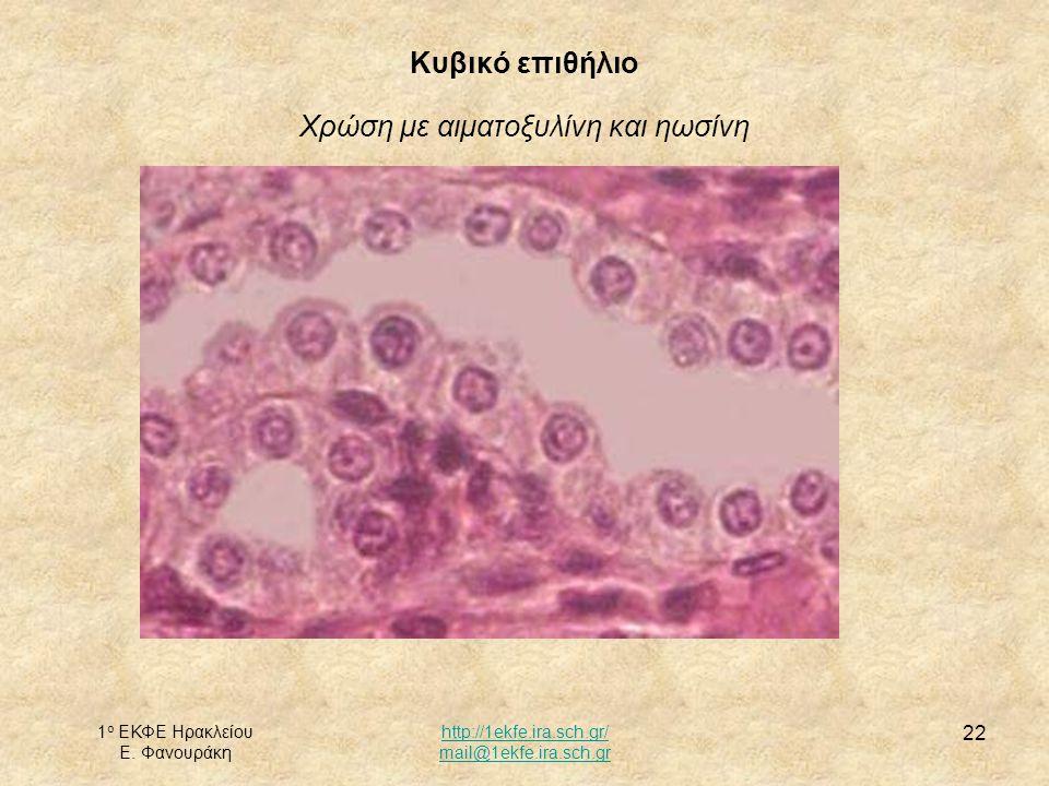 Κυβικό επιθήλιο Χρώση με αιματοξυλίνη και ηωσίνη