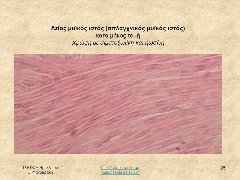 Λείος μυϊκός ιστός (σπλαγχνικός μυϊκός ιστός) κατά μήκος τομή Χρώση με αιματοξυλίνη και ηωσίνη