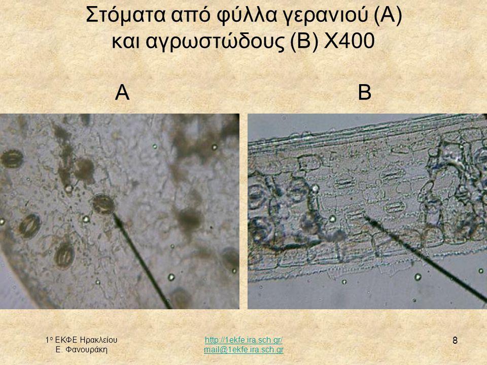 Στόματα από φύλλα γερανιού (Α) και αγρωστώδους (Β) Χ400 Α Β