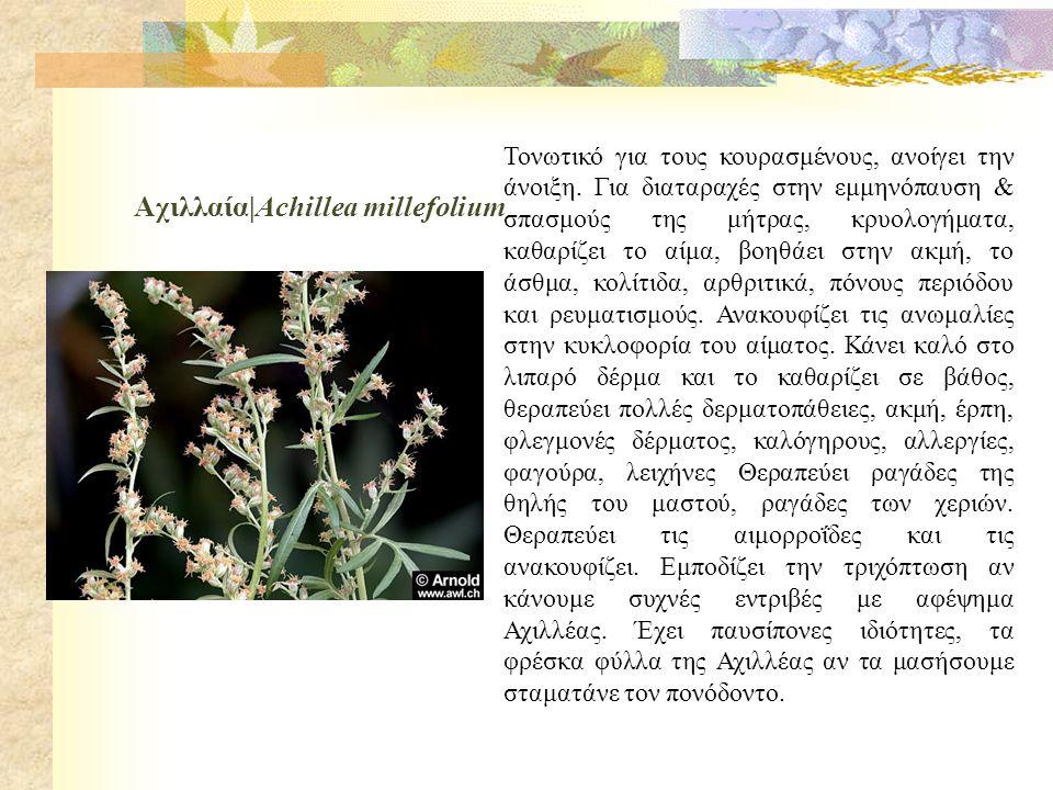 Αχιλλαία|Achillea millefolium