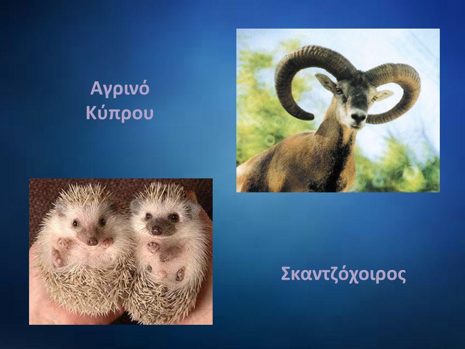 Αγρινό Κύπρου Σκαντζόχοιρος