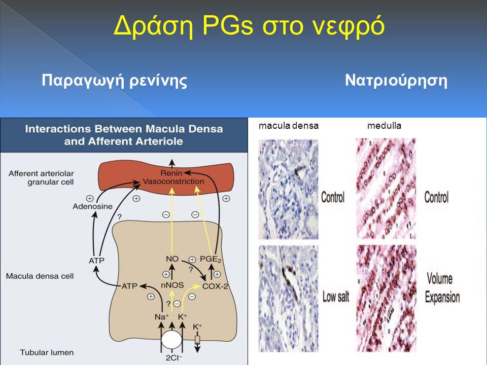 Δράση PGs στο νεφρό Παραγωγή ρενίνης Νατριούρηση.