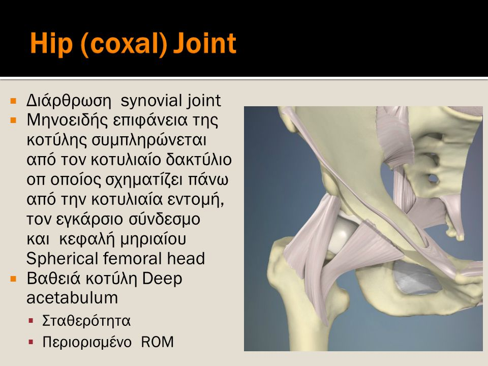 Hip (coxal) Joint Διάρθρωση synovial joint