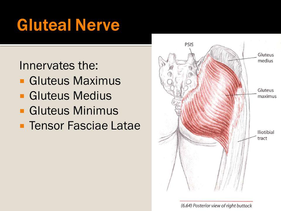 Gluteal Nerve Innervates the: Gluteus Maximus Gluteus Medius