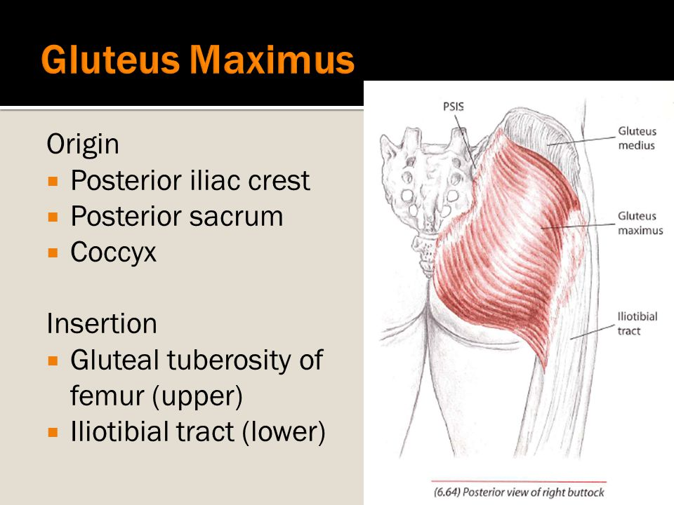 Gluteus Maximus Origin Posterior iliac crest Posterior sacrum Coccyx